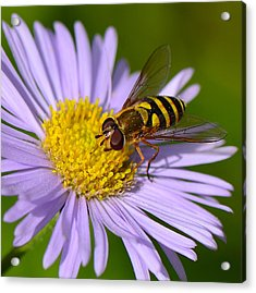 Yellowjacket On Robin's Plantain Acrylic Print