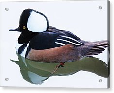 Hooded Merganser Acrylic Print by Paulette Thomas