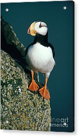 Horned Puffin Acrylic Print by Art Wolfe
