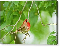 House Finch (carpodacus Mexicanus Acrylic Print by Larry Ditto