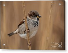 House Sparrow Passer Domesticus Acrylic Print