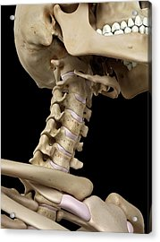 Human Cervical Spine Acrylic Print