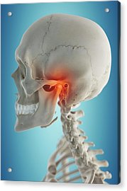 Human Jaw Acrylic Print by Sciepro