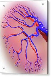 Human Kidney Acrylic Print by Alfred Pasieka