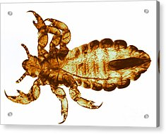 Human Louse, Lm Acrylic Print by Eric V. Grave