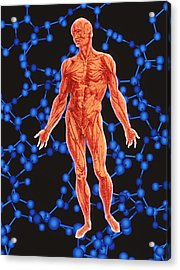 Human Musculature Acrylic Print