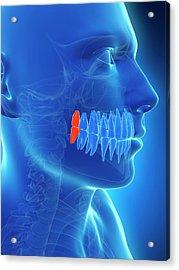 Human Wisdom Teeth Acrylic Print by Sebastian Kaulitzki