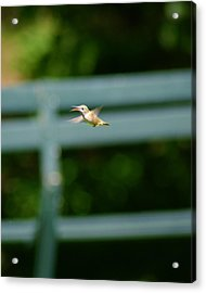 Hummer In Flight Acrylic Print