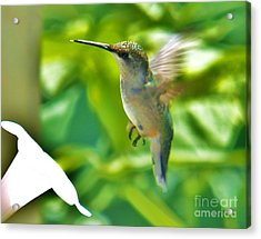 Hummingbird 2 2014 Acrylic Print