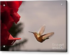 Hummingbird At Feeder Acrylic Print by Cindy Singleton