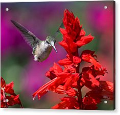 Acrylic Print featuring the photograph Hummingbird by David Lester