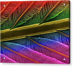 Hummingbird Feather Shaft Acrylic Print by Dennis Kunkel Microscopy/science Photo Library