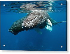 Humpback Whale And Calf Acrylic Print by Andrew J. Martinez