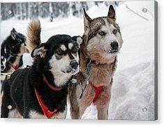 Husky Dogs Pull A Sledge Acrylic Print by Photostock-israel