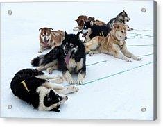 Husky Sled Dogs Acrylic Print