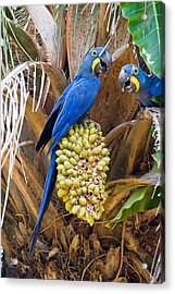 Hyacinth Macaws Anodorhynchus Acrylic Print by Panoramic Images