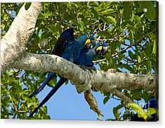 Hyacinth Macaws, Brazil Acrylic Print by Gregory G. Dimijian, M.D.