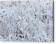 Ice Coated Bullrushes Acrylic Print