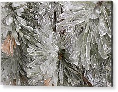 Ice On Pine Branches Acrylic Print by Blink Images