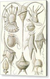 Illustration Shows Microorganisms. Peridinea Acrylic Print by Artokoloro
