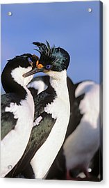 Imperial Shag Or King Shag Acrylic Print