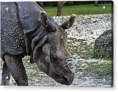 Indian Rhinoceros Acrylic Print
