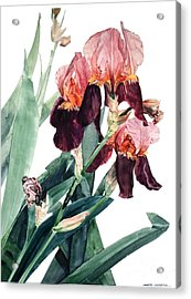 Watercolor Of A Pink And Maroon Tall Bearded Iris I Call Iris La Forza Del Destino Acrylic Print