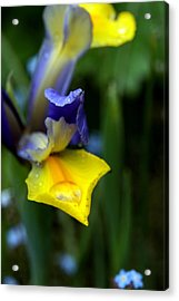 Iris Acrylic Print by Nigel Watts