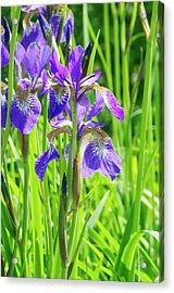 Iris Sibirica 'cambridge' Acrylic Print by Neil Joy/science Photo Library