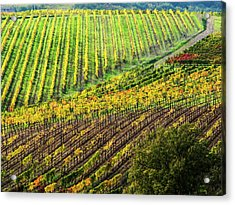 Italy, Montepulciano, Autumn Vineyard Acrylic Print by Terry Eggers