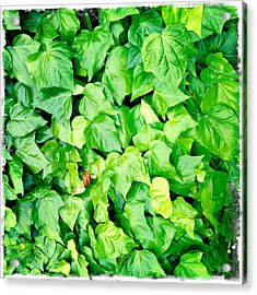 Ivy Acrylic Print by Les Cunliffe
