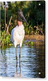 Jabiru Stork Acrylic Print