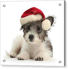 Jack Russell X Westie Pup Wearing Acrylic Print