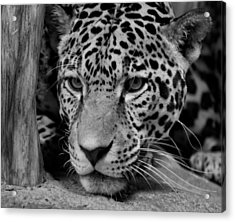 Jaguar In Black And White II Acrylic Print by Sandy Keeton