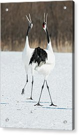 Japanese Cranes Displaying Acrylic Print