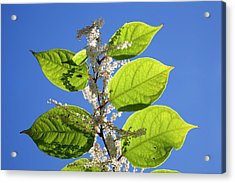 Japanese Knotweed Acrylic Print by Alex Hyde