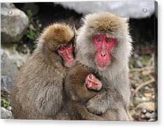 Japanese Macaque Mother With Young Acrylic Print by Thomas Marent