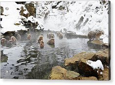 Japanese Macaques In A Hot Spring Acrylic Print