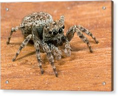 Jumping Spider Acrylic Print by Nigel Downer