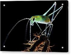 Katydid Acrylic Print by Melvyn Yeo