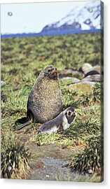 Kerguelen Fur Seal, Antarctic Fur Seal Acrylic Print