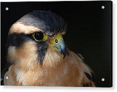 Kestrel Falcon Acrylic Print