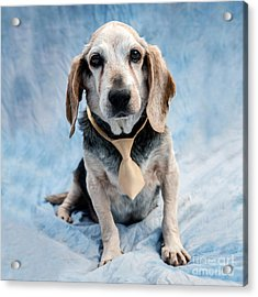 Kippy Beagle Senior And Best Dog Ever Acrylic Print by Iris Richardson