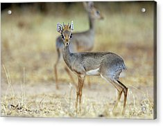 Kirk's Dik-dik Acrylic Print by Dr P. Marazzi/science Photo Library