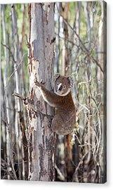 Koala Bear Acrylic Print by Ashley Cooper
