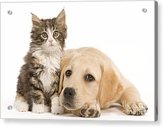 Labrador And Forest Cat Acrylic Print by Jean-Michel Labat