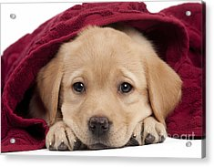 Labrador Puppy In Towel Acrylic Print by Jean-Michel Labat