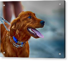 Acrylic Print featuring the photograph Labrador Retriever by Jerome Lynch