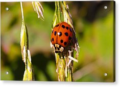 Acrylic Print featuring the tapestry - textile Lady Bug by Dennis Bucklin