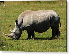 Lake Nakuru White Rhinoceros Acrylic Print by Aidan Moran